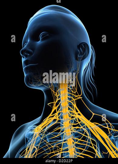 Weibliche Nervensystem Computer Grafik Kopf und Schultern Stockbild