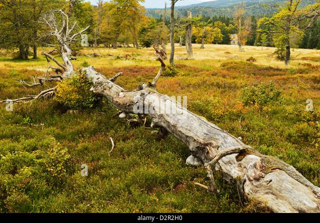 Pature mit Herbstfarben, Nationalpark Bayerischer Wald, Bayerischer Wald, Bayern, Deutschland, Europa Stockbild