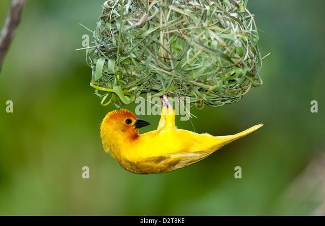 Goldene Palme Weaver, Ploceus Bojeri, Diani Beach, Kenia Stockbild