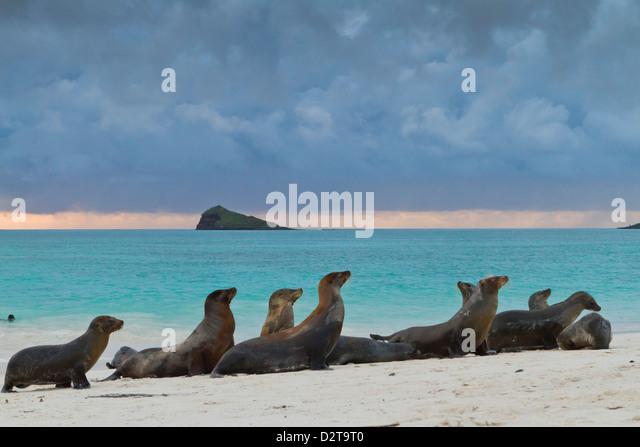 Galapagos-Seelöwen (Zalophus Wollebaeki), Gardner Bay, Espanola Insel, Galapagos-Inseln, Ecuador Stockbild