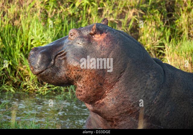 Flusspferd (Hippopotamus Amphibius), Masai Mara National Reserve, Kenia Stockbild