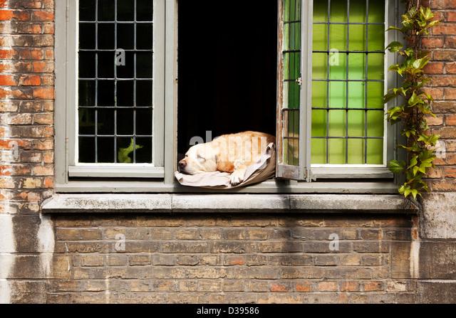 """""""Fidel"""" der Hund Faulenzen am Fenster, Brügge, Belgien Stockbild"""