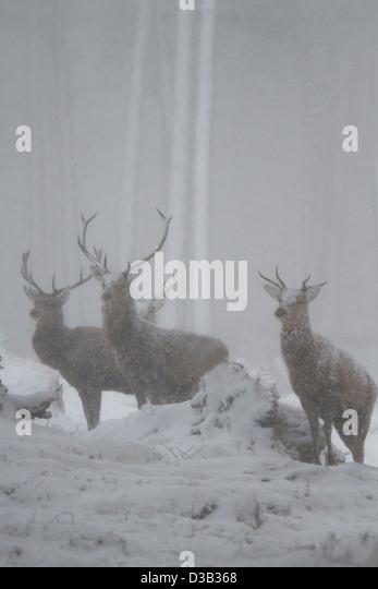 Rote Hirsche in einem Schneesturm, Schottisches Hochland Stockbild