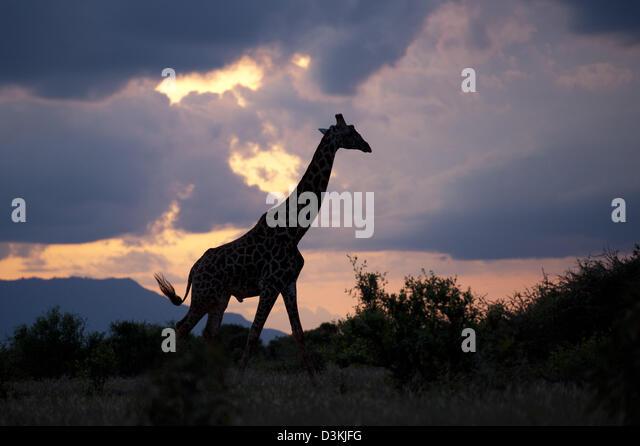 Maasai Giraffe (Giraffa Plancius Tippelskirchi) bei Sonnenuntergang, Tsavo East Nationalpark, Kenia Stockbild