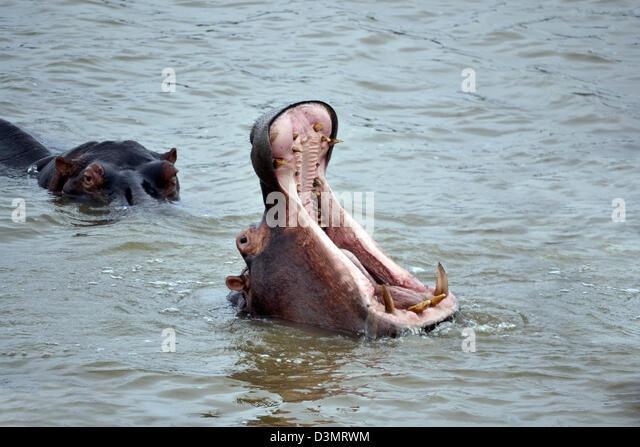 Nilpferd im Wasser mit dem Mund offen weit Stockbild