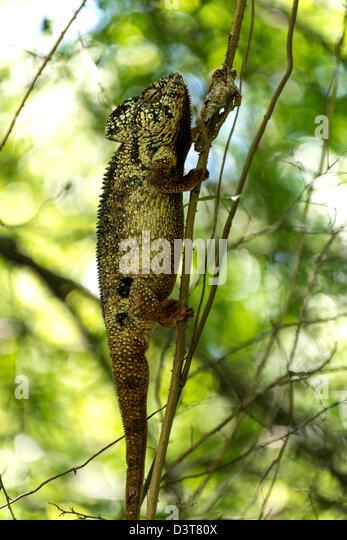 Die Oustalet oder madagassische riesige Chamäleon Furcifer Oustaleti Madagaskar-Afrika Stockbild