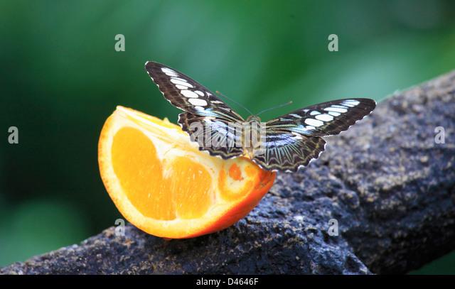 Schmetterling, Singapur Zoo Stockbild
