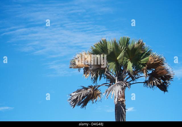 Palm-Baum Afrika gegen blauen Himmel Stockbild