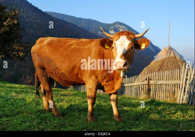 Kulturlandschaft in Karpaten mit inländischen Kuh im Bild. Stockbild