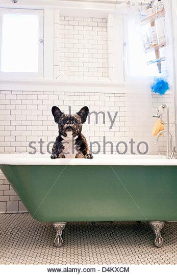 Französische Bulldogge in Badewanne sitzen Stockbild