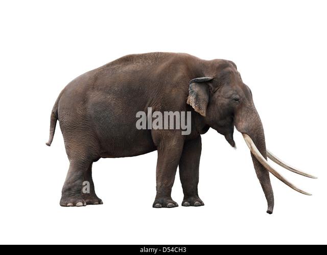 Afrikanischer Elefant auf weißem Hintergrund Stockbild