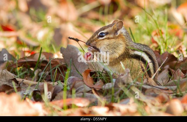 Östliche Chipmunk (Tamias Striatus) im Herbst Stockbild