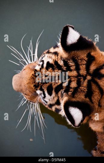 Tiger Tempel Thailand Stockbild