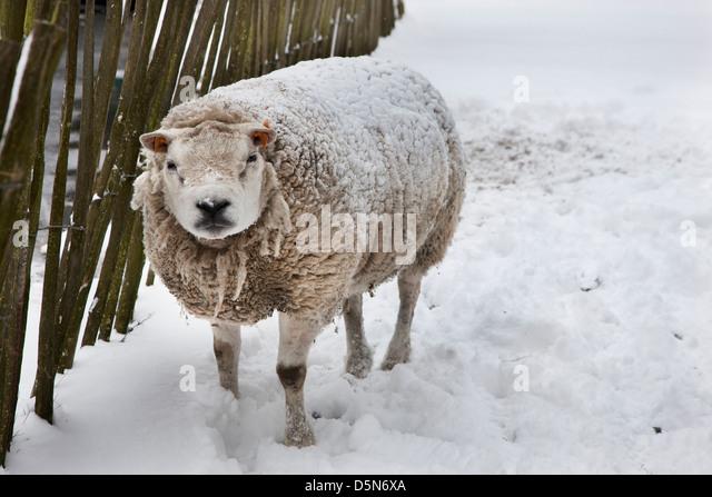 Hausschafe in dicken Mantel im Schnee im winter Stockbild