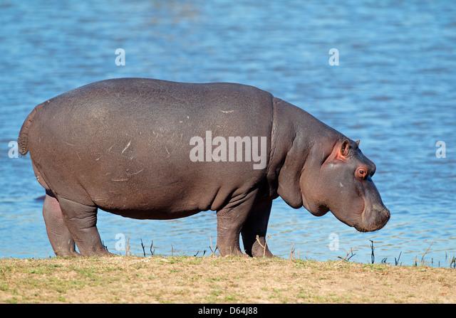 Flusspferd (Hippopotamus Amphibius), Südafrika Stockbild