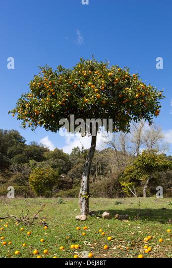 Orangenbaum, in der Nähe von Linares De La Sierra, Andalusien, Spanien, Europa Stockbild