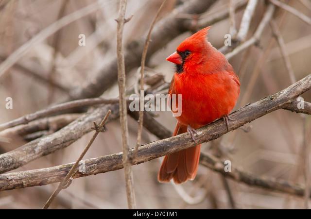 Nördlichen Kardinal Männchen im Frühjahr Gefieder. Stockbild