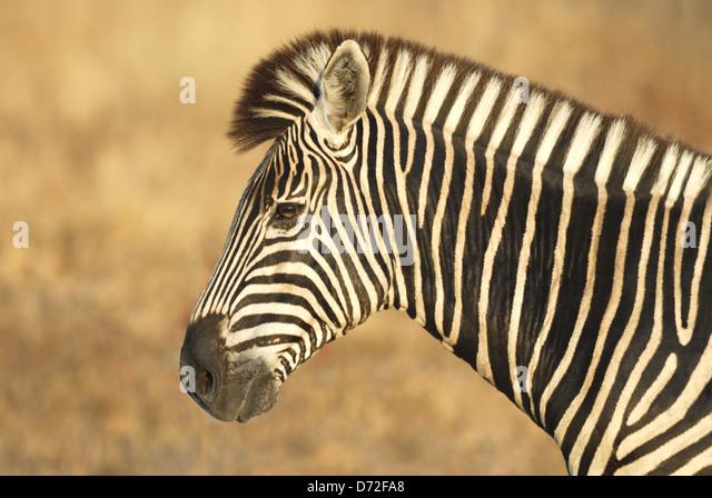 Männliche Burchell-Zebra (Equus Burchellii) im Krüger Nationalpark, Südafrika Stockbild
