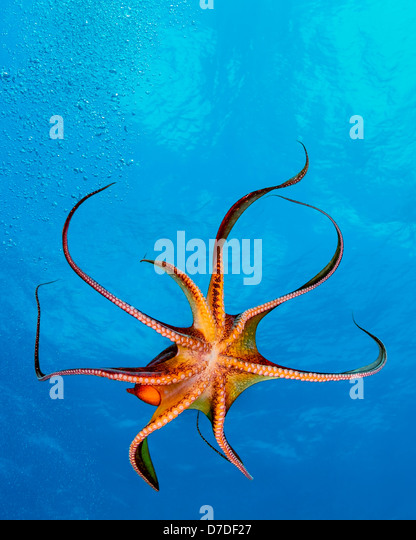 Tag-Krake, Octopus Cyanea, Kohala Coast, Big Island, Hawaii, USA Stockbild