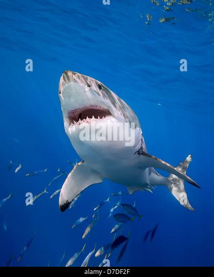Der weiße Hai, Carcharodon Carcharias, Insel Guadalupe, Mexiko Stockbild