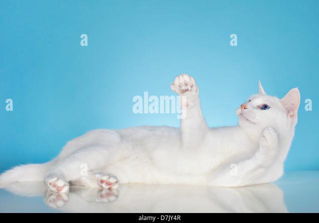 Reine weiße Katze mit blauen Augen in Spiellaune vor blauem Hintergrund Stockbild