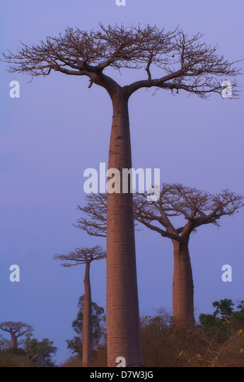 Affenbrotbäume (Adansonia Grandidieri) bei Sonnenuntergang, Morondava, Madagaskar Stockbild