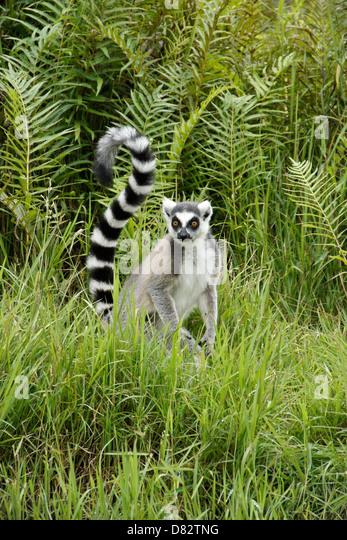 Katta, Lemuren-Insel, Andasibe, Madagaskar Stockbild