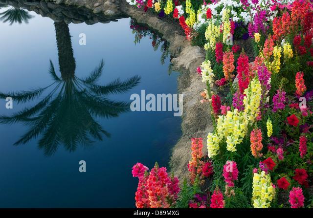 Gartenblumen mit Palm Tree Reflexion. Palm Desert, Kalifornien Stockbild