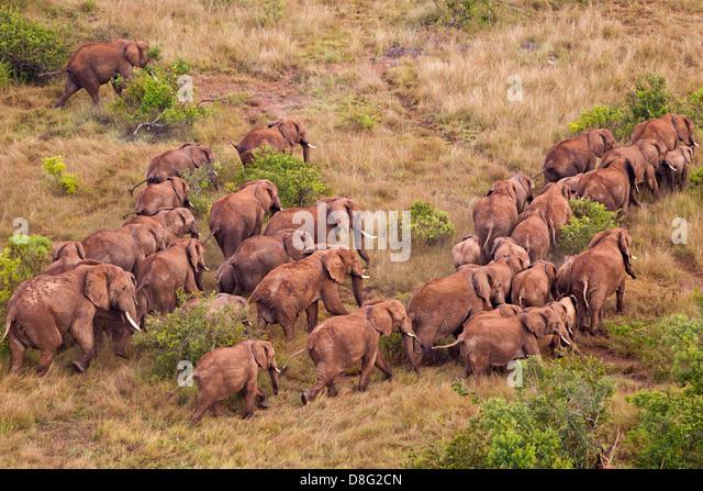 Luftaufnahme des afrikanischen Elefanten (Loxodonta Africana) im Kenya.Dist. Südlich der Sahara. Stockbild