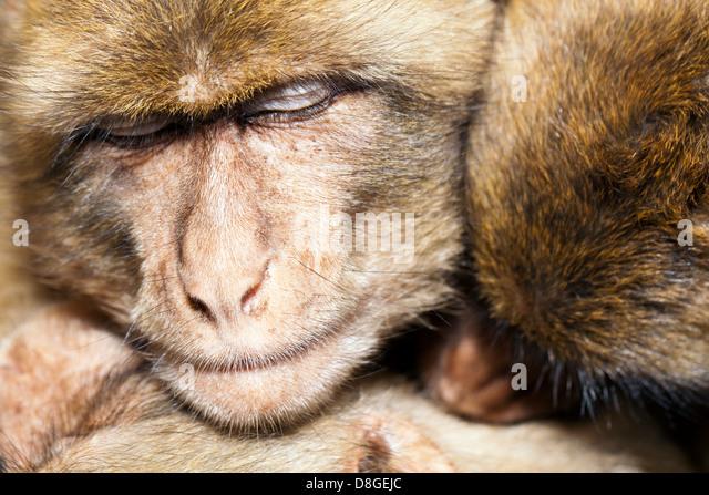 Drei Affen teilen eine Gruppe Umarmung, wie sie kuscheln und miteinander schlafen.  Berberaffe (Macaca Sylvanus), Stockbild