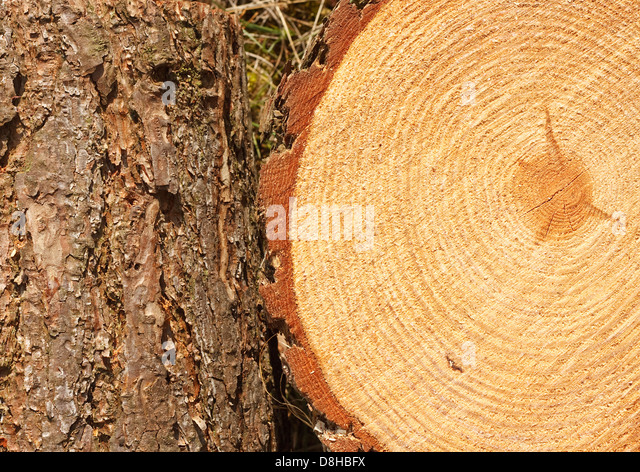 tree rings pine wood stockfotos tree rings pine wood bilder alamy. Black Bedroom Furniture Sets. Home Design Ideas