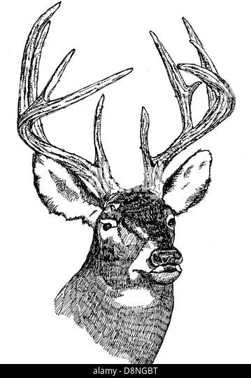 White tailed Deer Kopf Abbildung. Stockbild