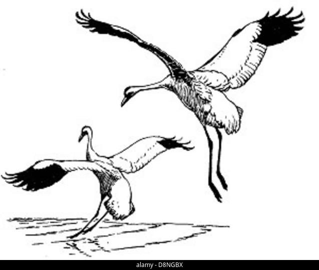 Keuchhusten-Kräne Vögel Abbildung. Stockbild
