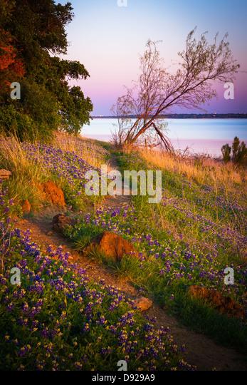 Kornblumen im Grapevine Lake in Nord-Texas Stockbild