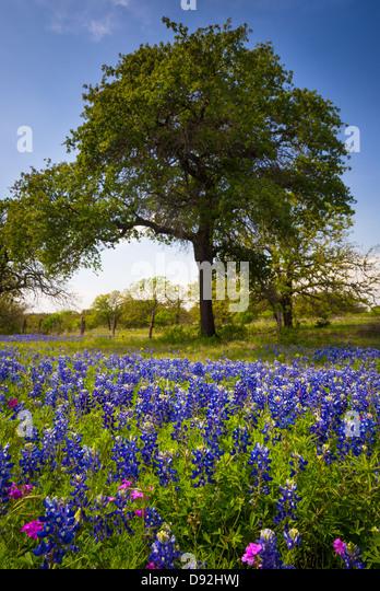 Kornblumen und Bäume in der Nähe von Kingsland in Texas Hill Country Stockbild