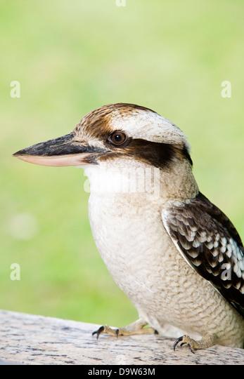 Australische gebürtige Kookaburra-Vogel. Stockbild