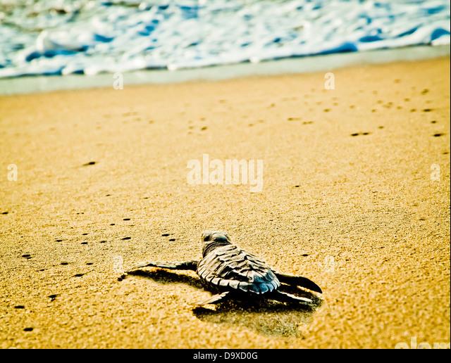Frisch geschlüpfte Schildkröten am Strand Stockbild