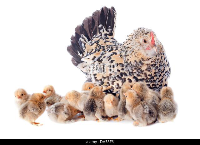 eine Familie Huhn auf weißem Hintergrund Stockbild