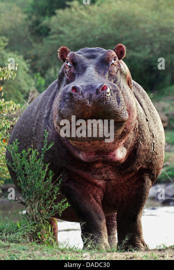 Nilpferd, Nilpferd, gemeinsame Flusspferd (Hippopotamus Amphibius), droht an einem Flussufer, Kenia Stockbild