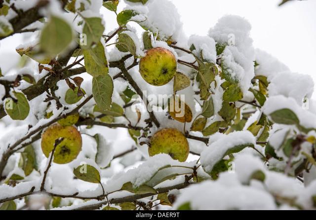 wintry apple tree stockfotos wintry apple tree bilder alamy. Black Bedroom Furniture Sets. Home Design Ideas