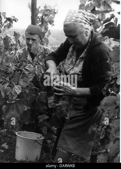 Landwirtschaft, Wein, Vintage am Neckar, 1960er Jahre, 60er Jahre, Weinberg, Frauen, alte Frau, arbeiten, Arbeit, Stockbild