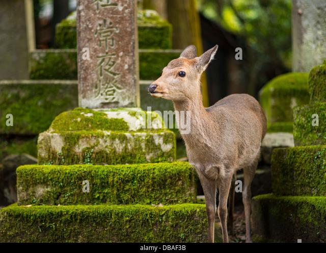 Nara Rehe herumlaufen frei in Nara-Park, Japan. Stockbild