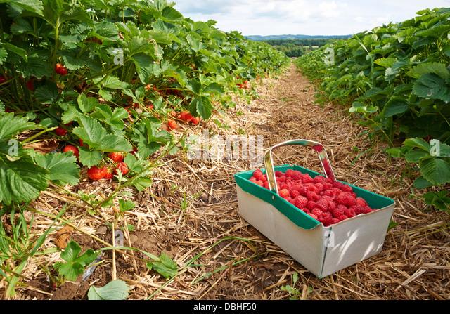 Reife frische Erdbeeren wachsen auf einer Obstplantage Stockbild
