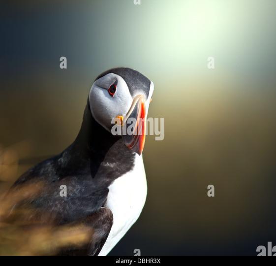 Puffin Stockbild