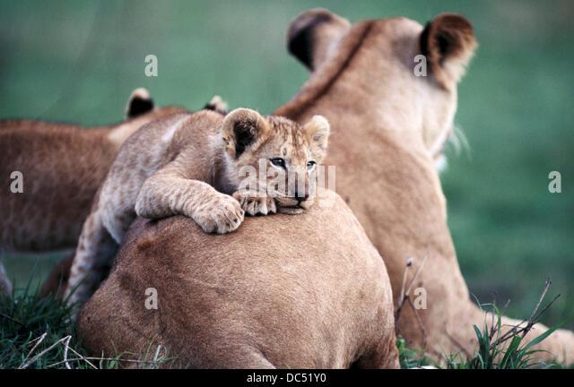 Löwen (Panthera Leo). Masai Mara. Kenia Stockbild
