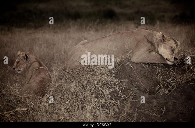 Weibliche Mutter Löwe schläft mit ihr junges. Serengeti. Tansania Afrika. Stockbild