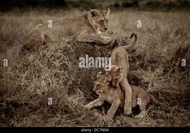 Weibliche Löwen Mutter Uhren ihre Jungen zu kämpfen. Serengeti. Tansania Afrika. Stockbild