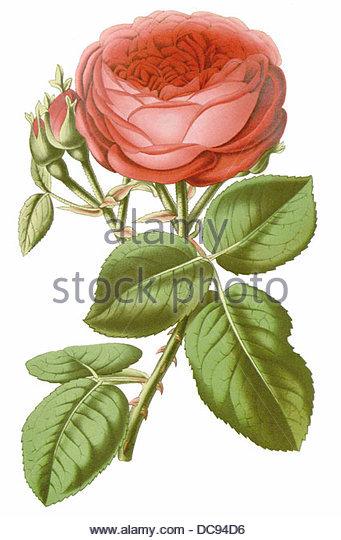 Rose John hopper Stockbild