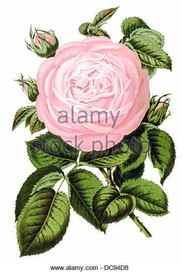 Rose PFIRSICHBLÜTE Stockbild