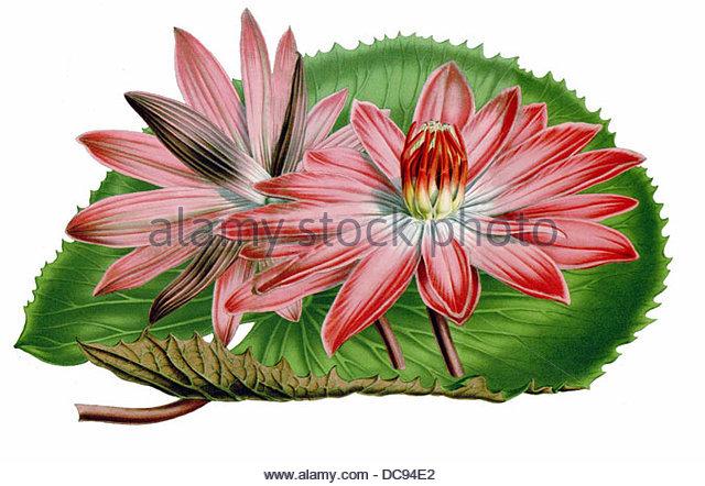 Seerose-Nymphaea ortgiesii Stockbild